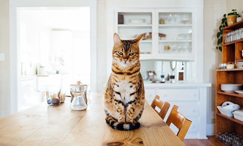 Mačje navade prehranjevanja